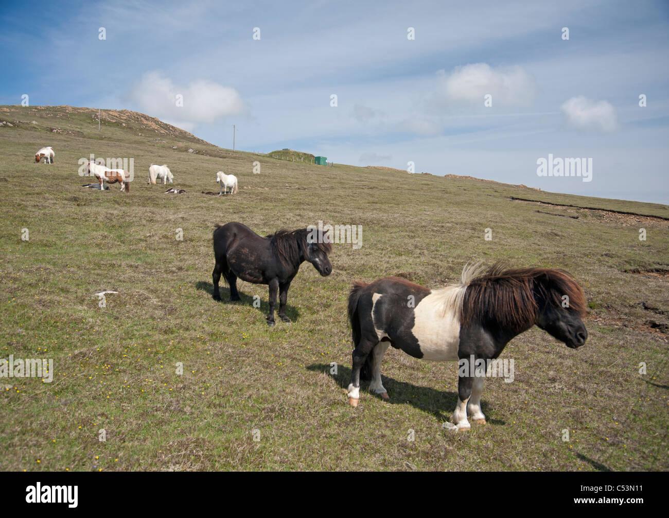 Shetland-Ponys Weiden auf hochgelegenen Weiden, Baltasound, Unst, Shetland-Inseln, Schottland. SCO 7482 Stockbild