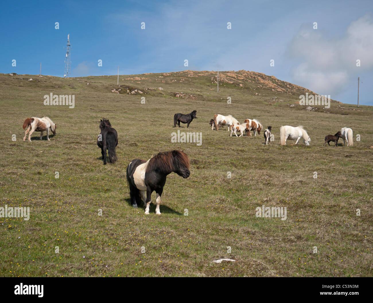 Shetland-Ponys Weiden auf hochgelegenen Weiden, Baltasound, Unst, Shetland-Inseln, Schottland. SCO 7483 Stockbild