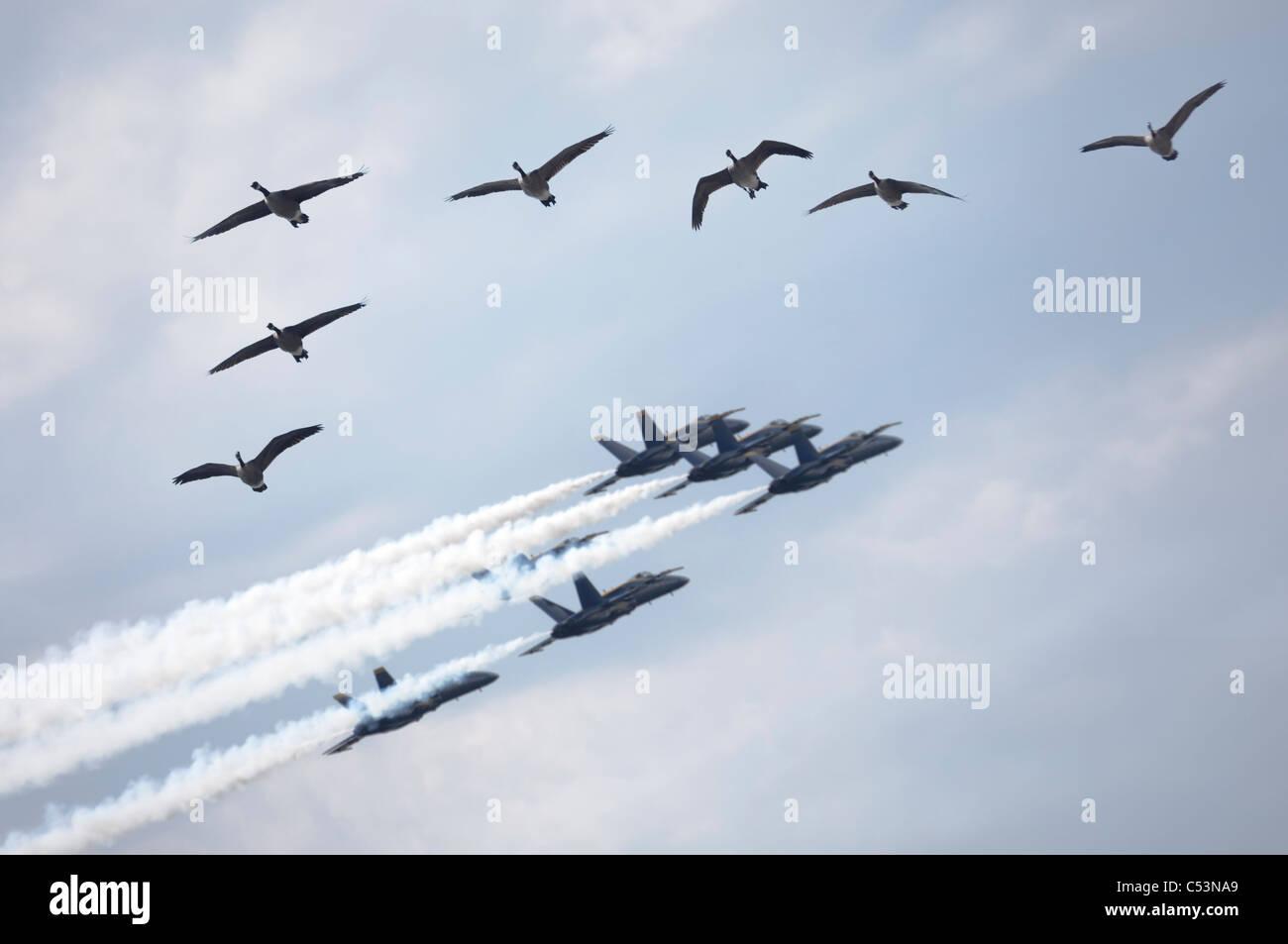 Herde von Kanadagänse und eine Bildung von Jet-Flugzeuge fliegen von der Airshow in Stockbild