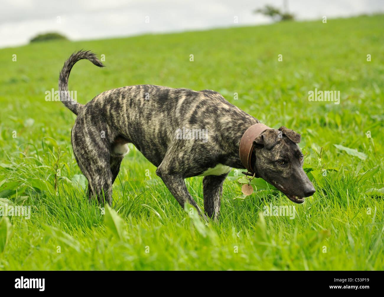 ein Lurcher Hund Jagd in einem Feld Stockbild