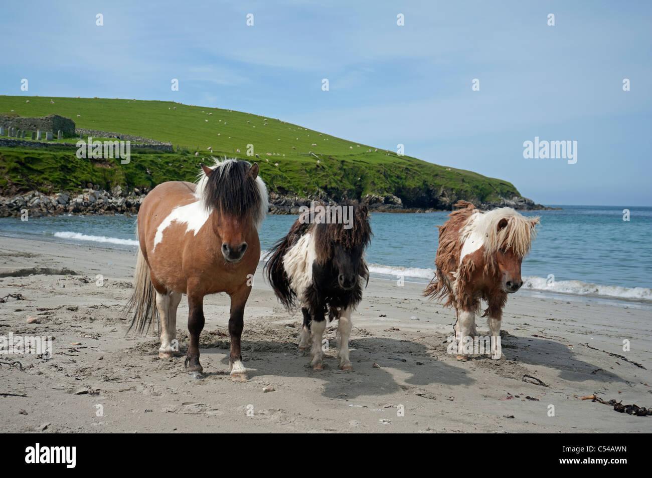 Shetland-Ponys an Lunda Wick Bluemull Sound, Unst, Shetland-Inseln. SCO 7509 Stockbild
