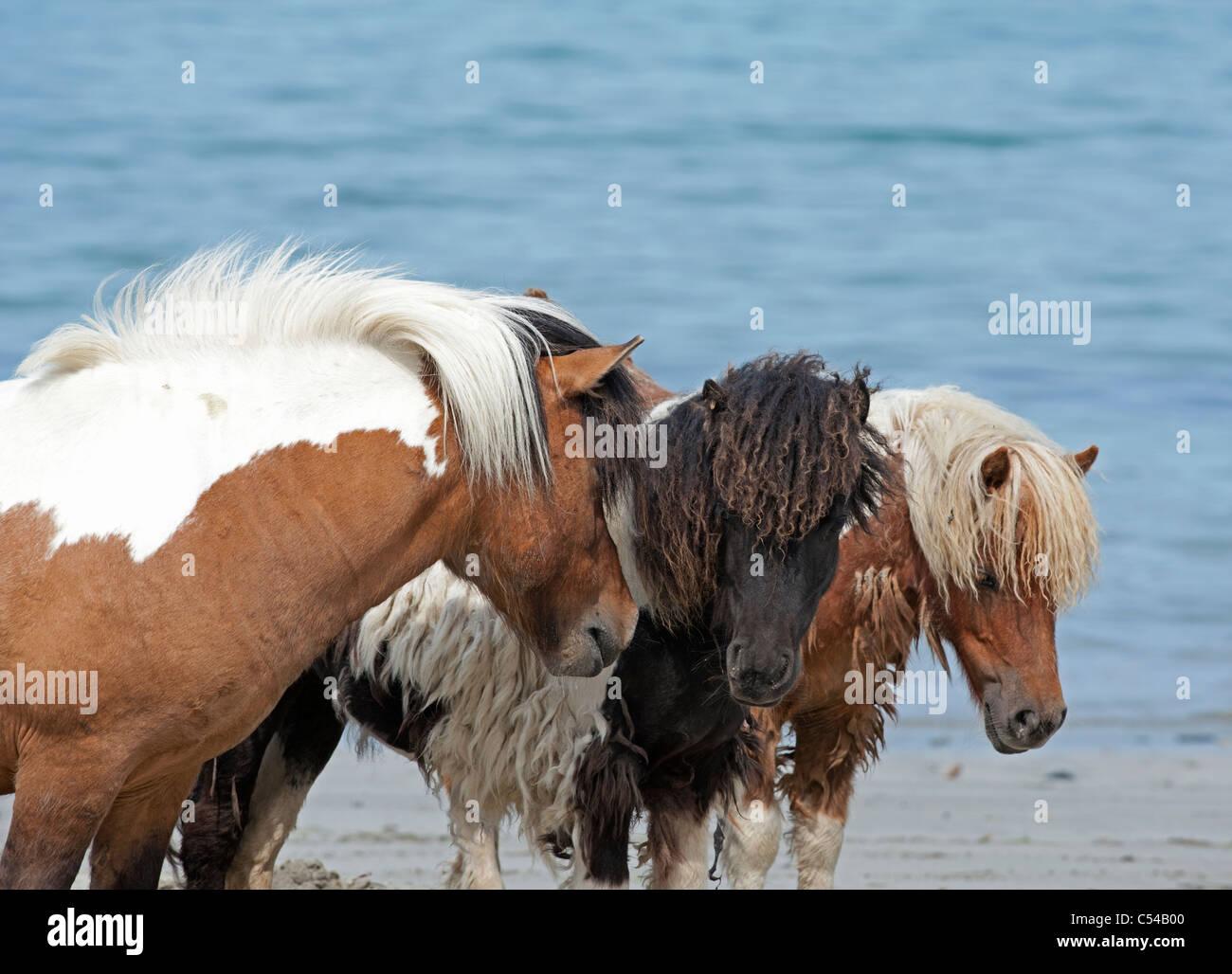 Shetland-Ponys an Lunda Wick Bluemull Sound, Unst, Shetland-Inseln. SCO 7510 Stockbild