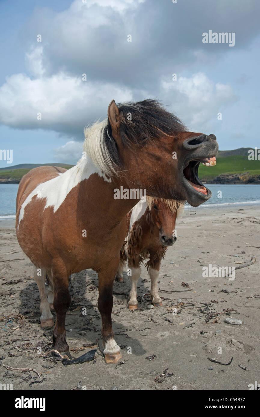 Shetland-Ponys an Lunda Wick Bluemull Sound, Unst, Shetland-Inseln. SCO 7513 Stockbild