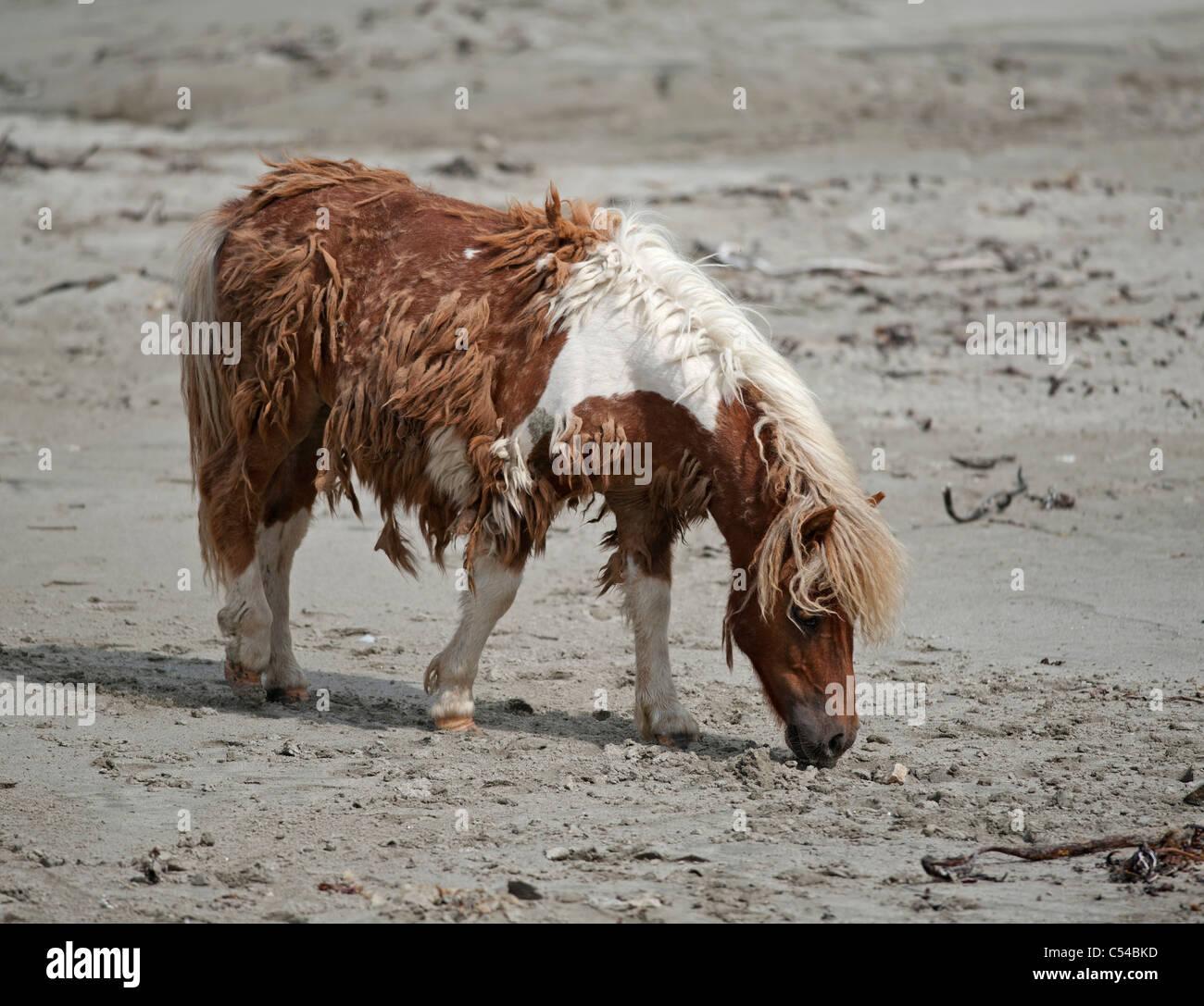 Shetland-Ponys, Lunda Wick Blau Mull Sound, Unst, nördlichen Inseln, Schottland. SCO 7519 Stockbild