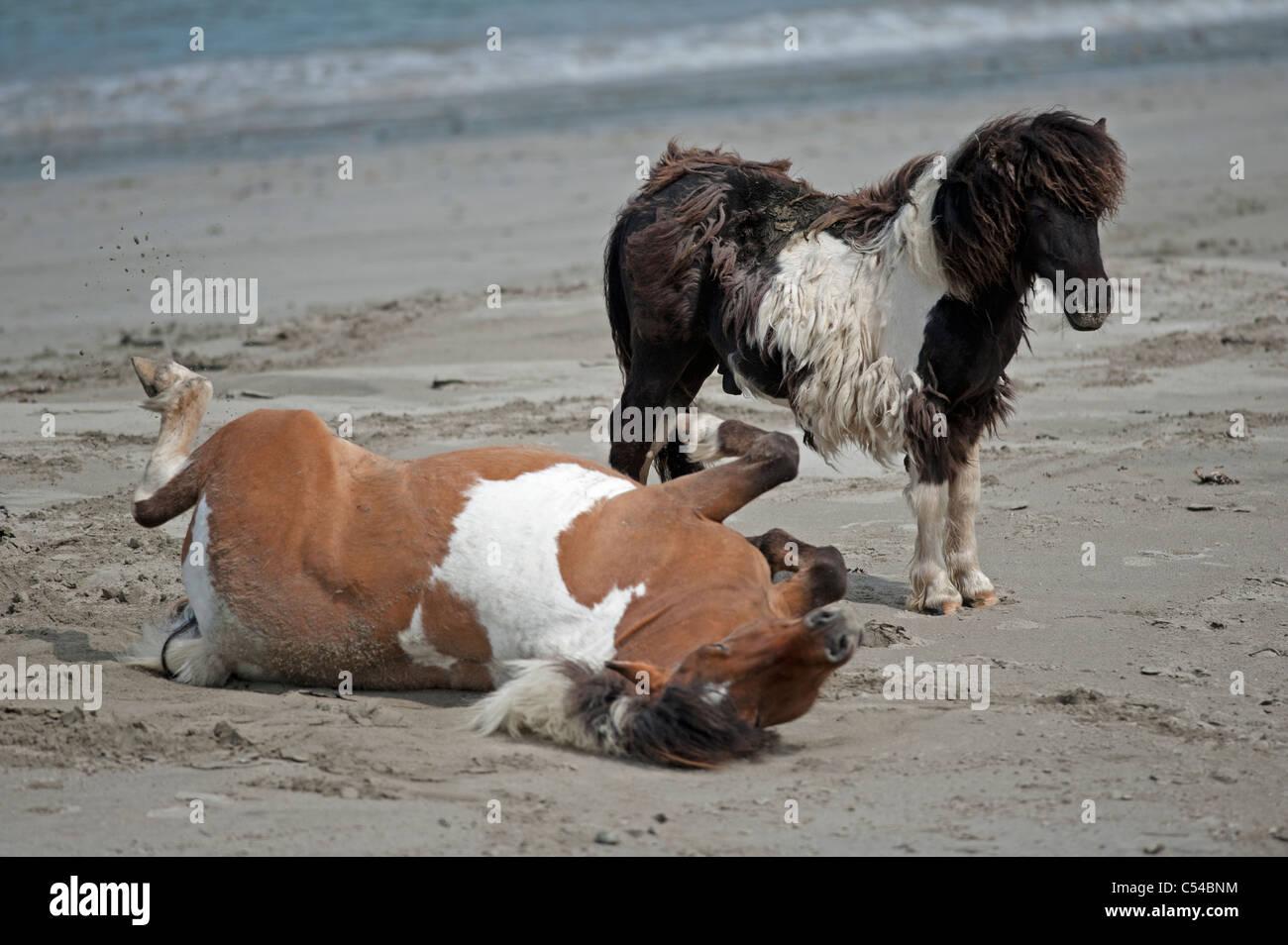 Shetland-Ponys, Lunda Wick Blau Mull Sound, Unst, nördlichen Inseln, Schottland. SCO 7520 Stockbild