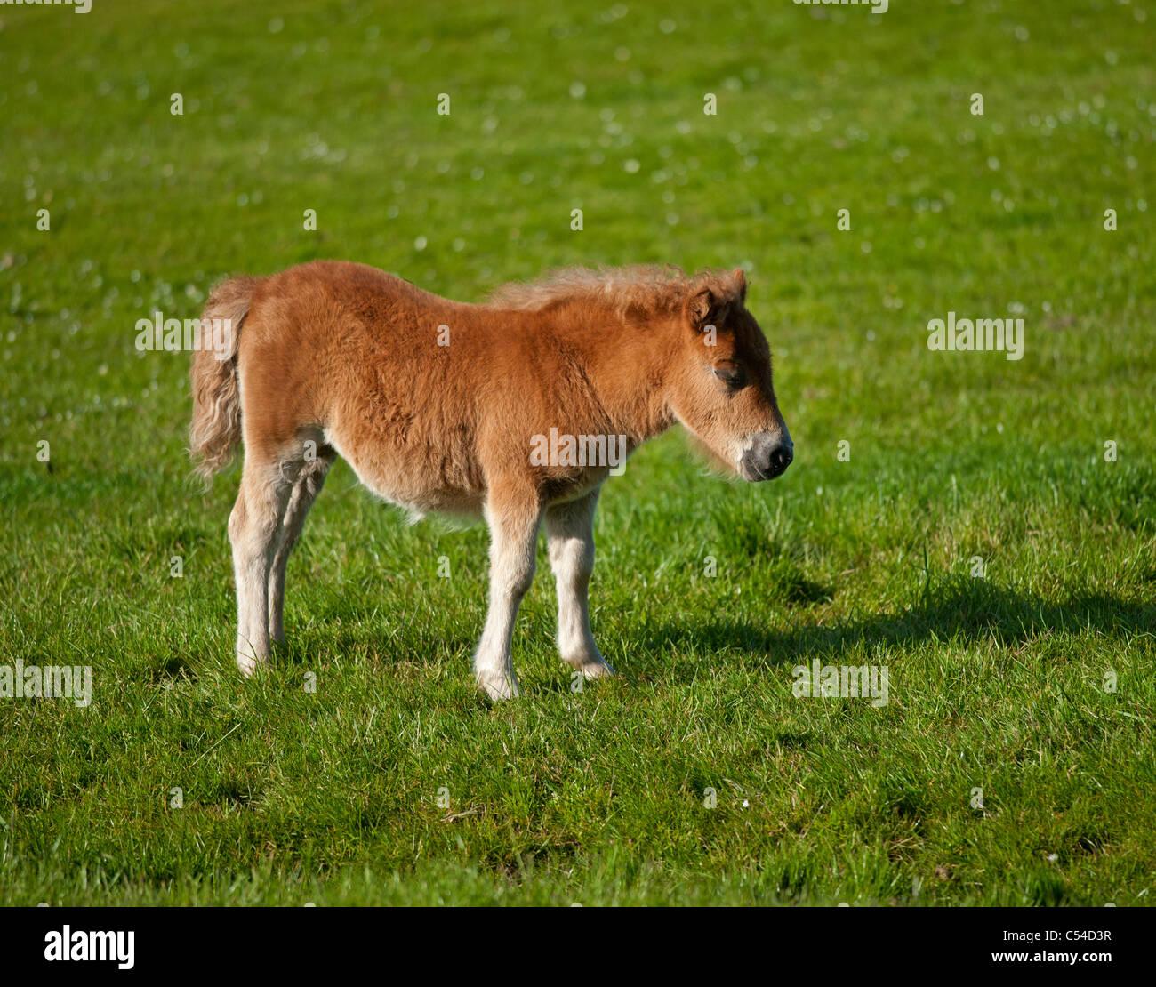 Shetland-Pony Fohlen Sumburgh nördlichen Inseln, Schottland.  SCO 7535 Stockbild