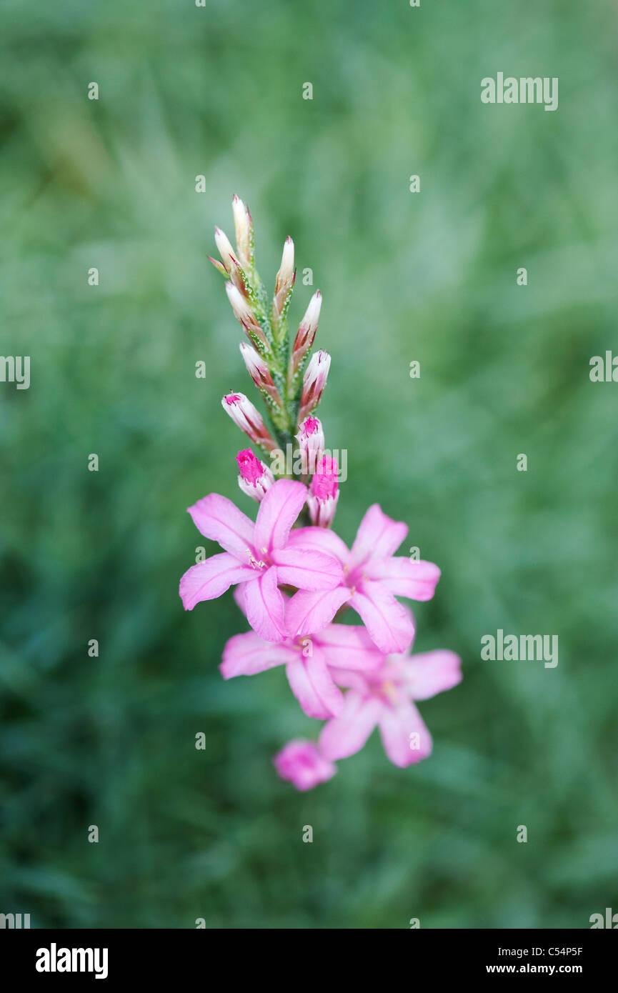 Acantholimon Hohenackeri.  Stachelige Dianthus Blumen Stockfoto