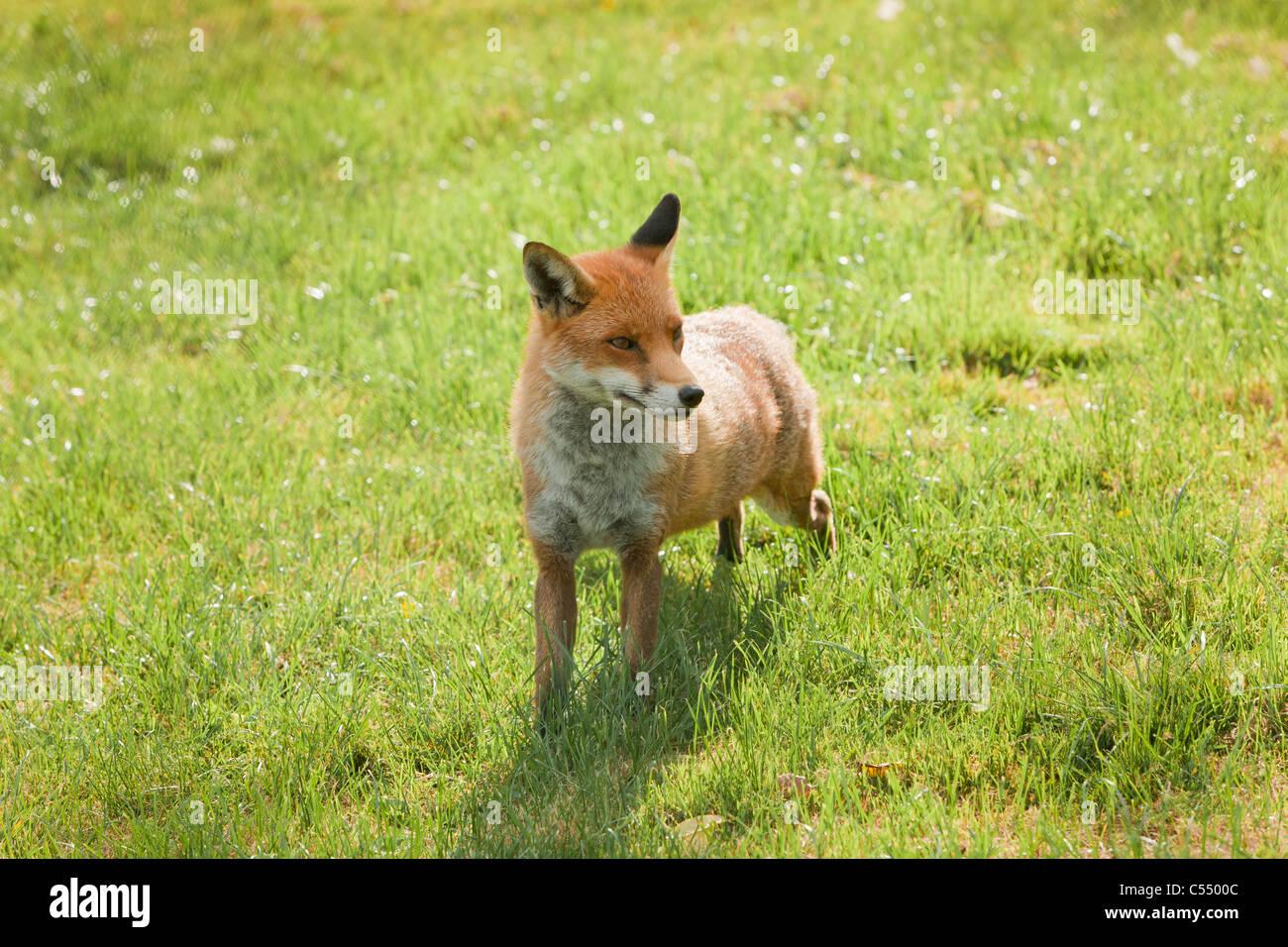 Zahmen Fuchs in Grasgrün Stockbild