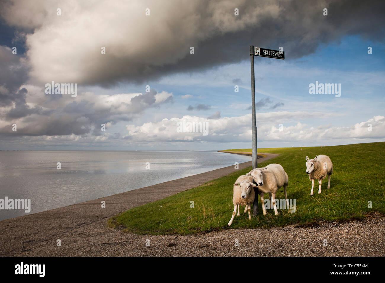 Den Niederlanden, Buren auf Ameland-Insel, gehört zum Wadden Sea Islands. UNESCO-Weltkulturerbe. Schafe am Stockbild
