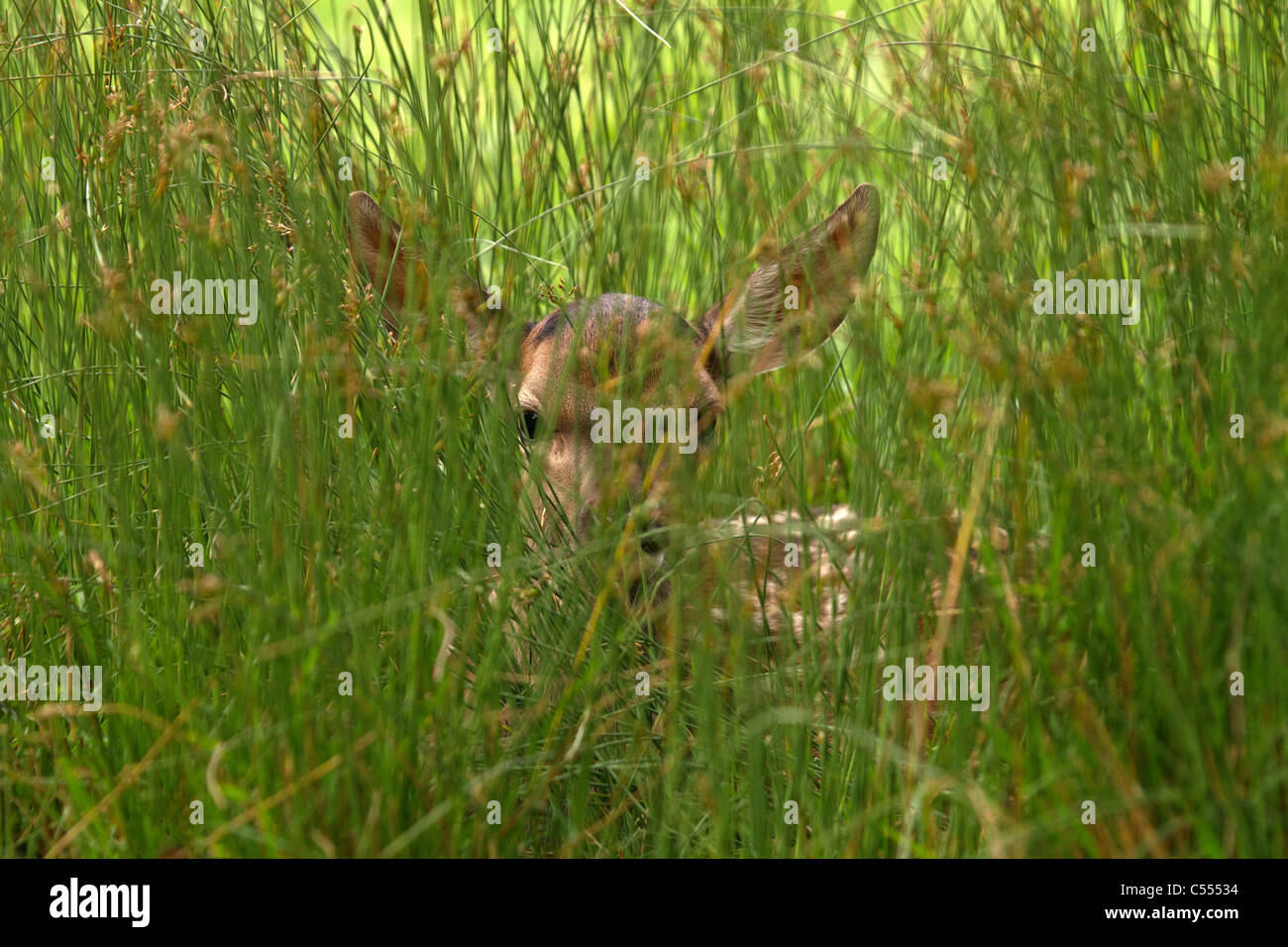 Young Red Deer (Cervus Elaphus) verstecken sich in der Wiese Stockbild
