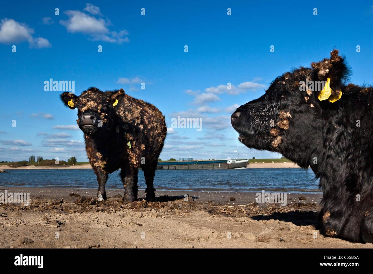 Die Niederlande, Ooij, Ooij-Polder. Galloway-Kuh. Hintergrund: Frachtboot am Fluss Waal. Stockbild