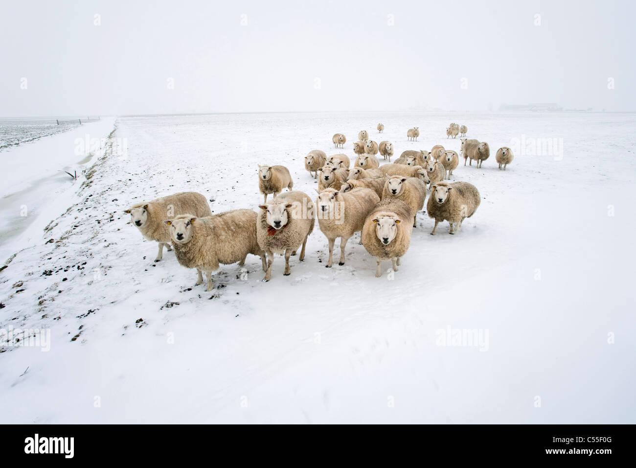Die Niederlande, Garrelsweer, Schafe im Schnee Stockfoto