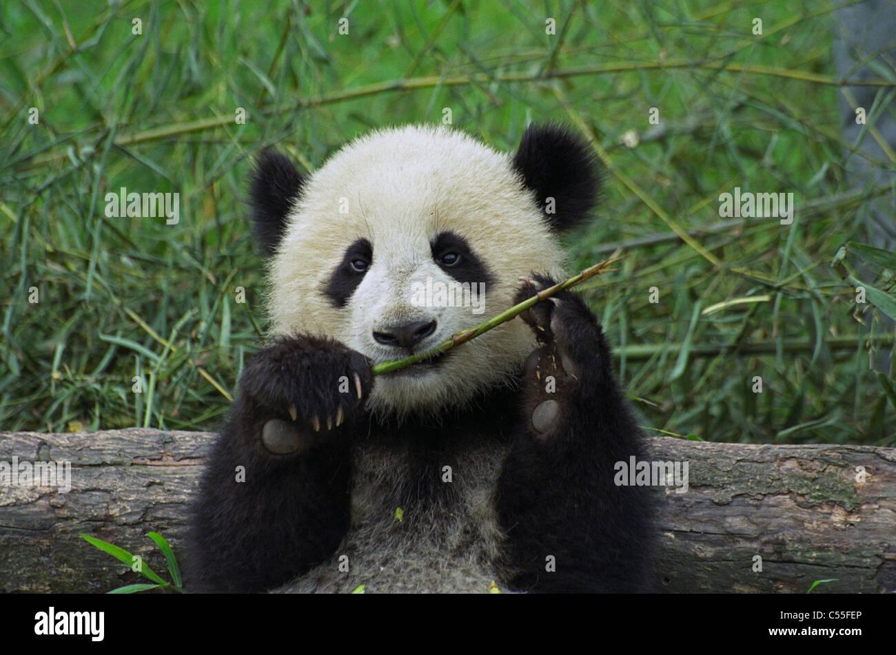 Giant Panda Cub Essen Bambus China Stockfoto Bild 37615950 Alamy