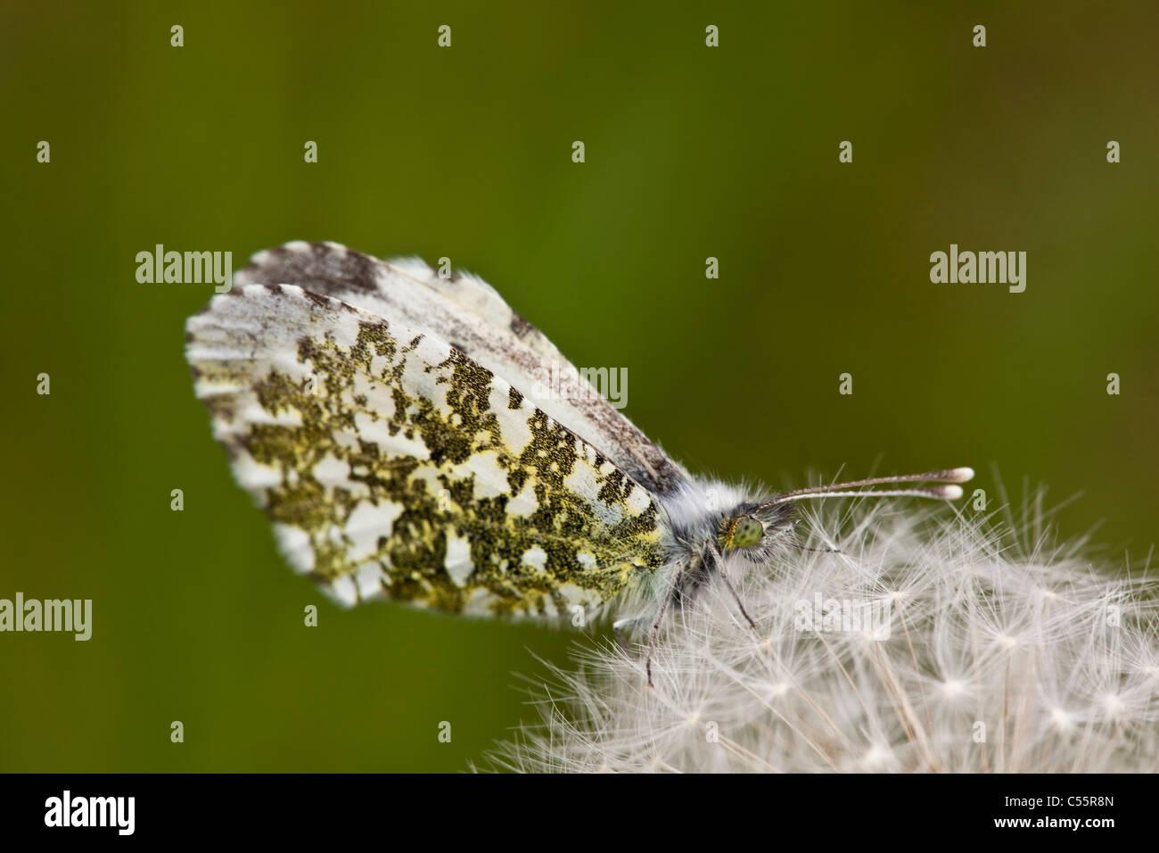 Den Niederlanden, Loon Op Zand, weibliche Orange Tipp Schmetterling, Anthocharis Cardamines, auf Löwenzahn Pappus. Stockfoto
