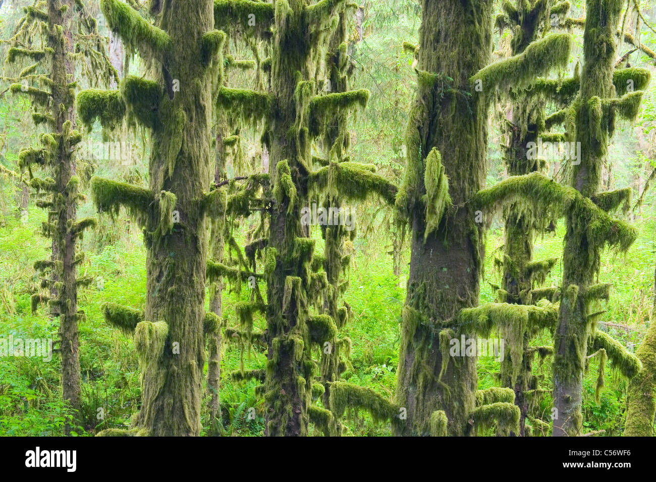 Gemäßigten Regenwald, Hoh River Valley, Olympic Nationalpark, Washington Stockbild