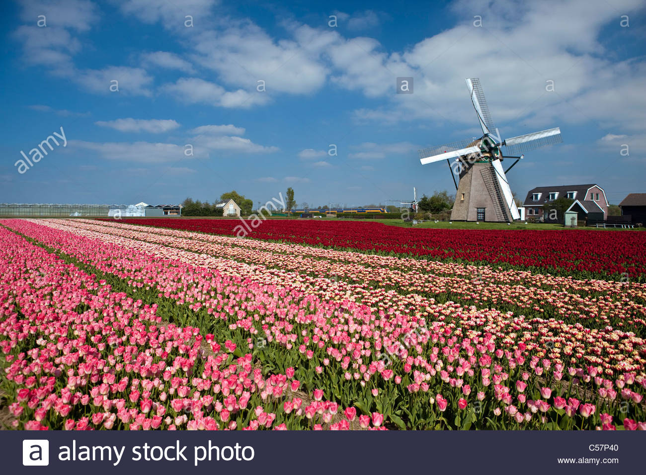 den niederlanden lisse tulpe blumen windm hle stockfoto bild 37665040 alamy. Black Bedroom Furniture Sets. Home Design Ideas