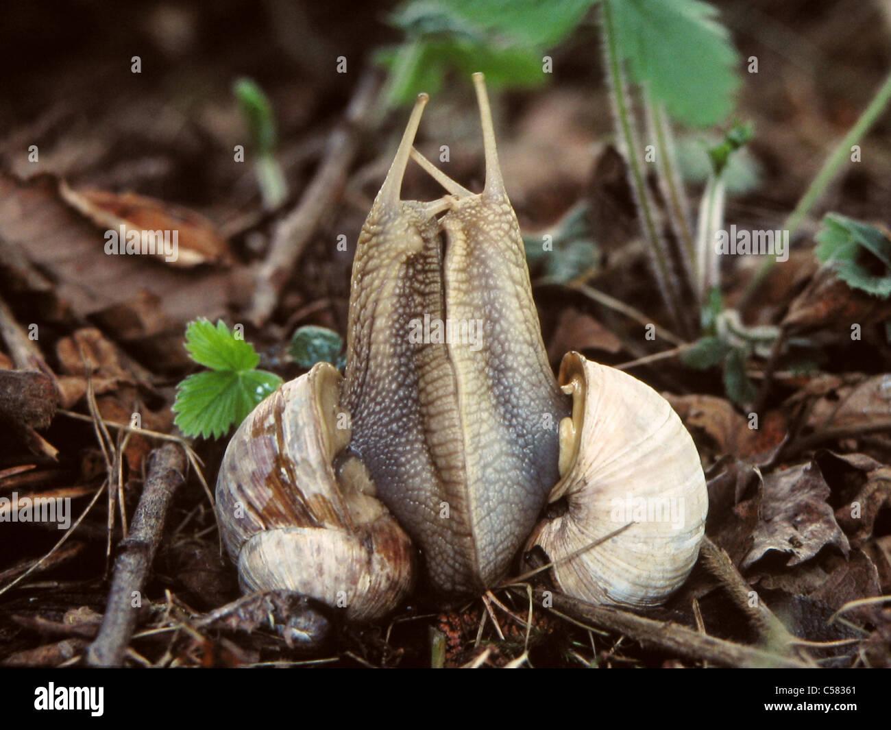 Tier, Schnecke, Paarung, essbare Schnecke, Helix Pomatia ...