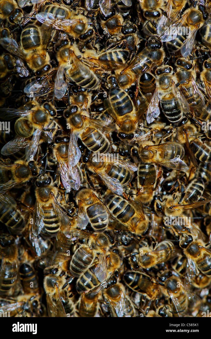 Schwarm von Bienen, Biene, Honigbiene, Königin, Schwarm, schwärmen, Apis Mellifera, Insekt, Insekten, Stockbild