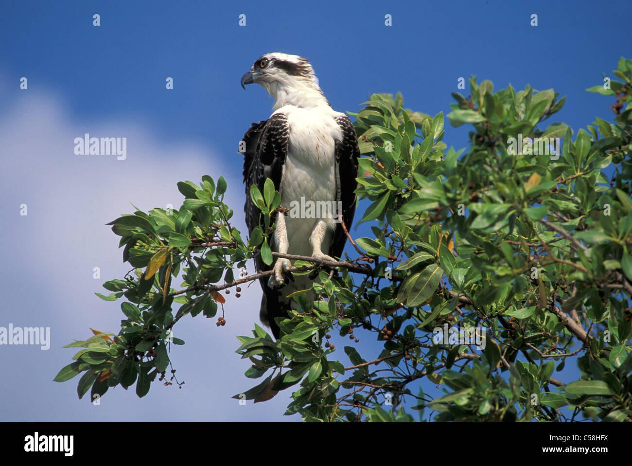 Fischadler, Florida, USA, USA, Amerika, Natur, Tier, Vogel, Zweig Stockbild