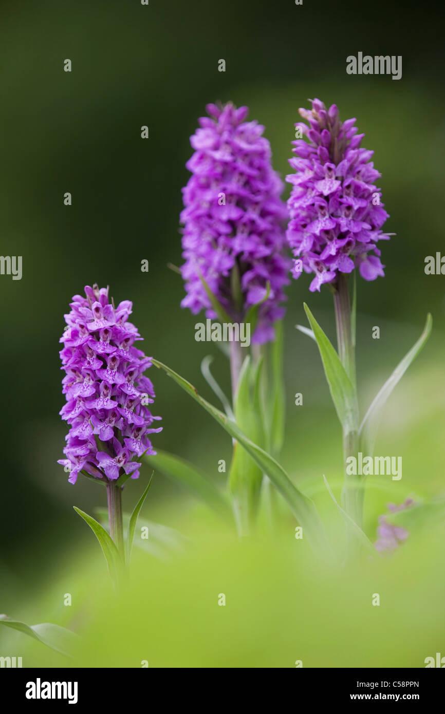 Südlichen Marsh Orchideen; Dactylorhiza Praetermissa; Schottland Stockbild