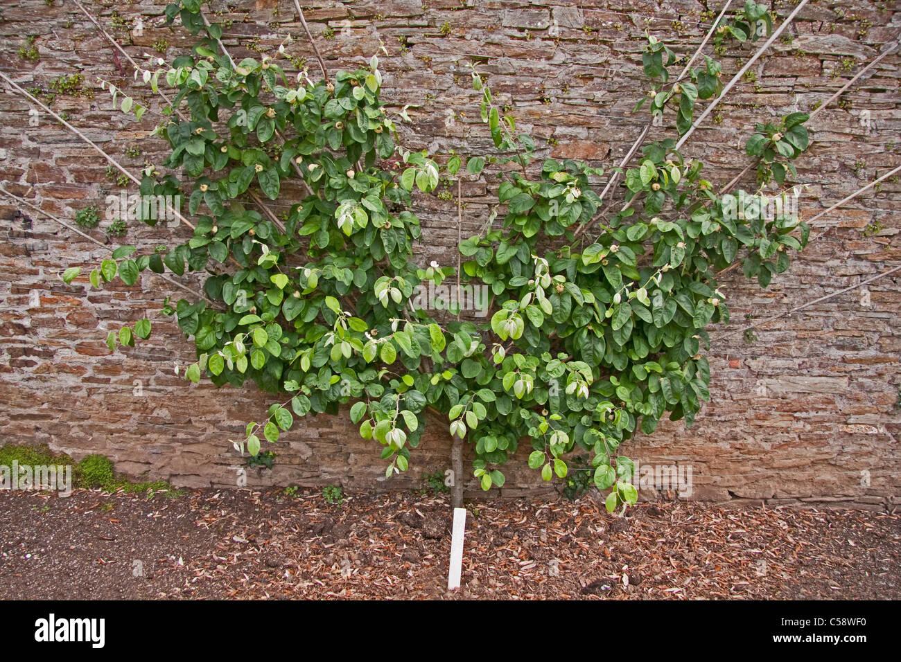 Quitte Baum (Meeches Prolific) Lüfter gegen alte Mauer ausgebildet Stockbild