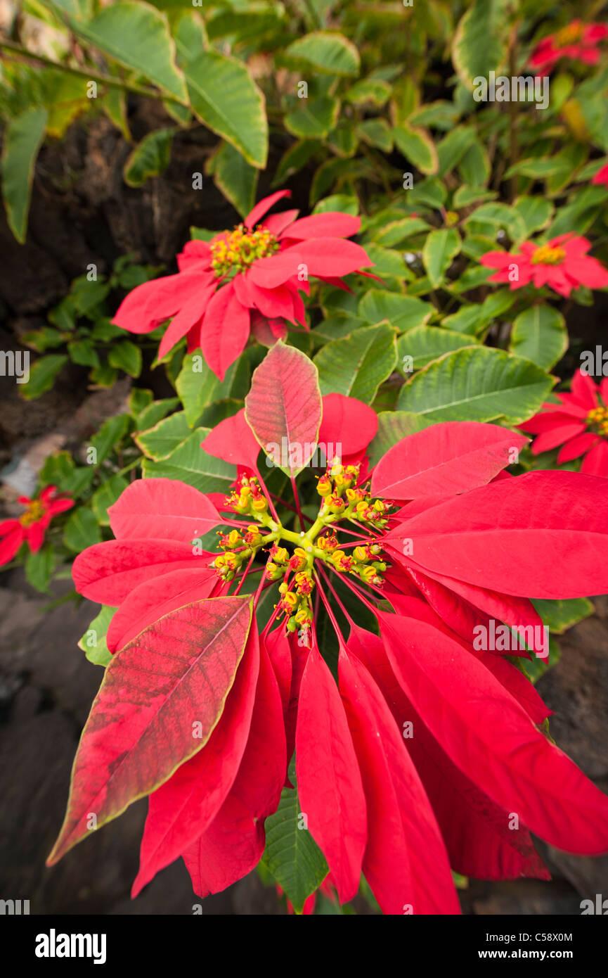Weihnachtsstern (Euphorbia Pulcherrima), Lanzarote, Kanarische Inseln, Spanien Stockbild