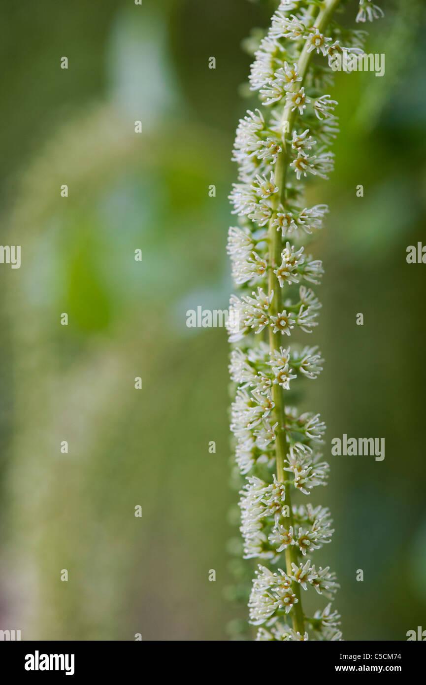 Itea Ilicifolia Blumen Stockbild