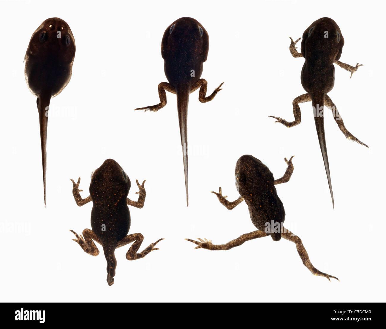 fortlaufende entwicklung eines frosches von der kaulquappe zum erwachsenen frosch stockfoto. Black Bedroom Furniture Sets. Home Design Ideas