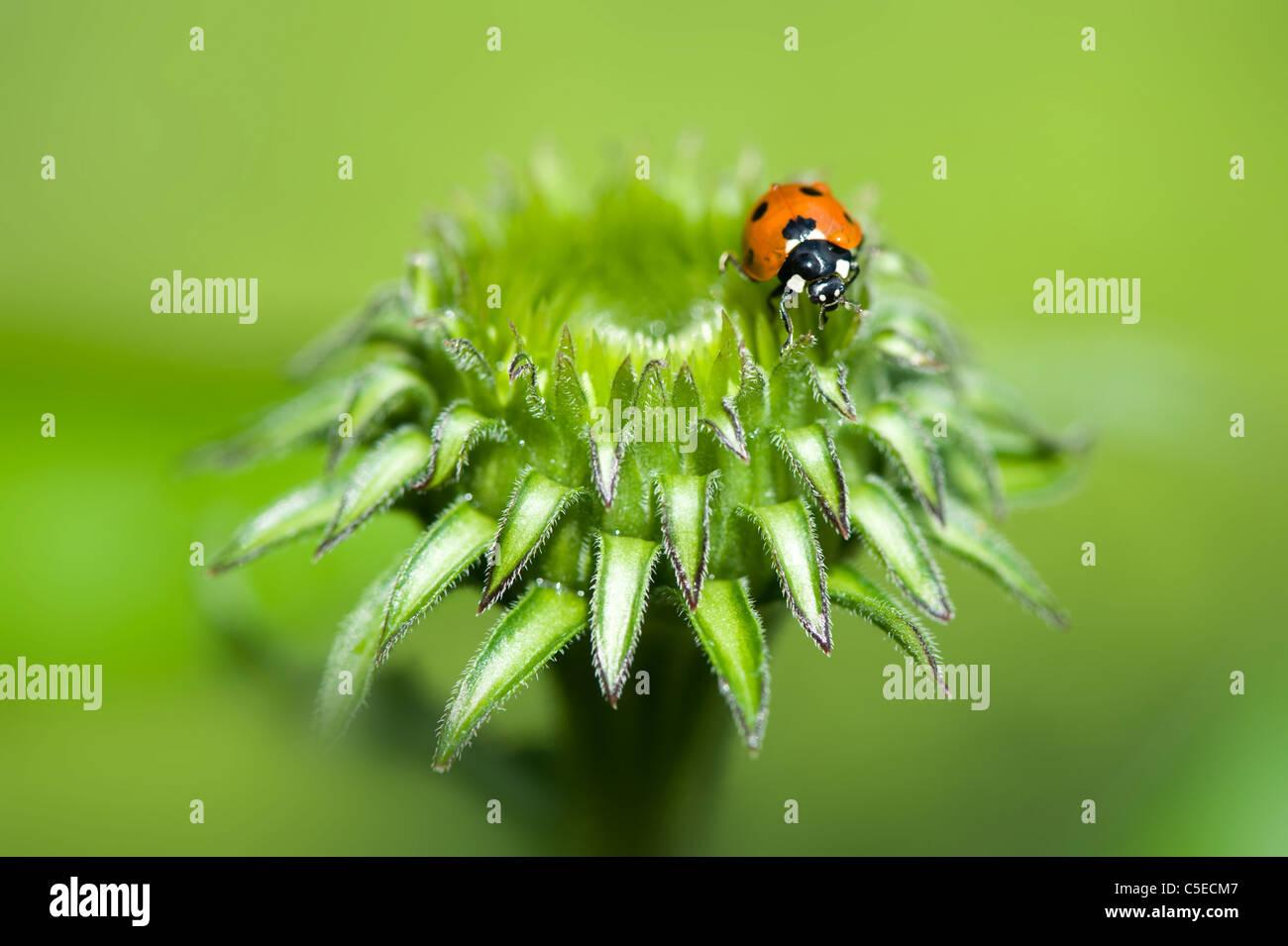 Nahaufnahme Bild von einem Seven-Spot Ladybird - Coccinella Septempunctata auf die Knospe einer Sonnenhut - Echinacea Stockbild