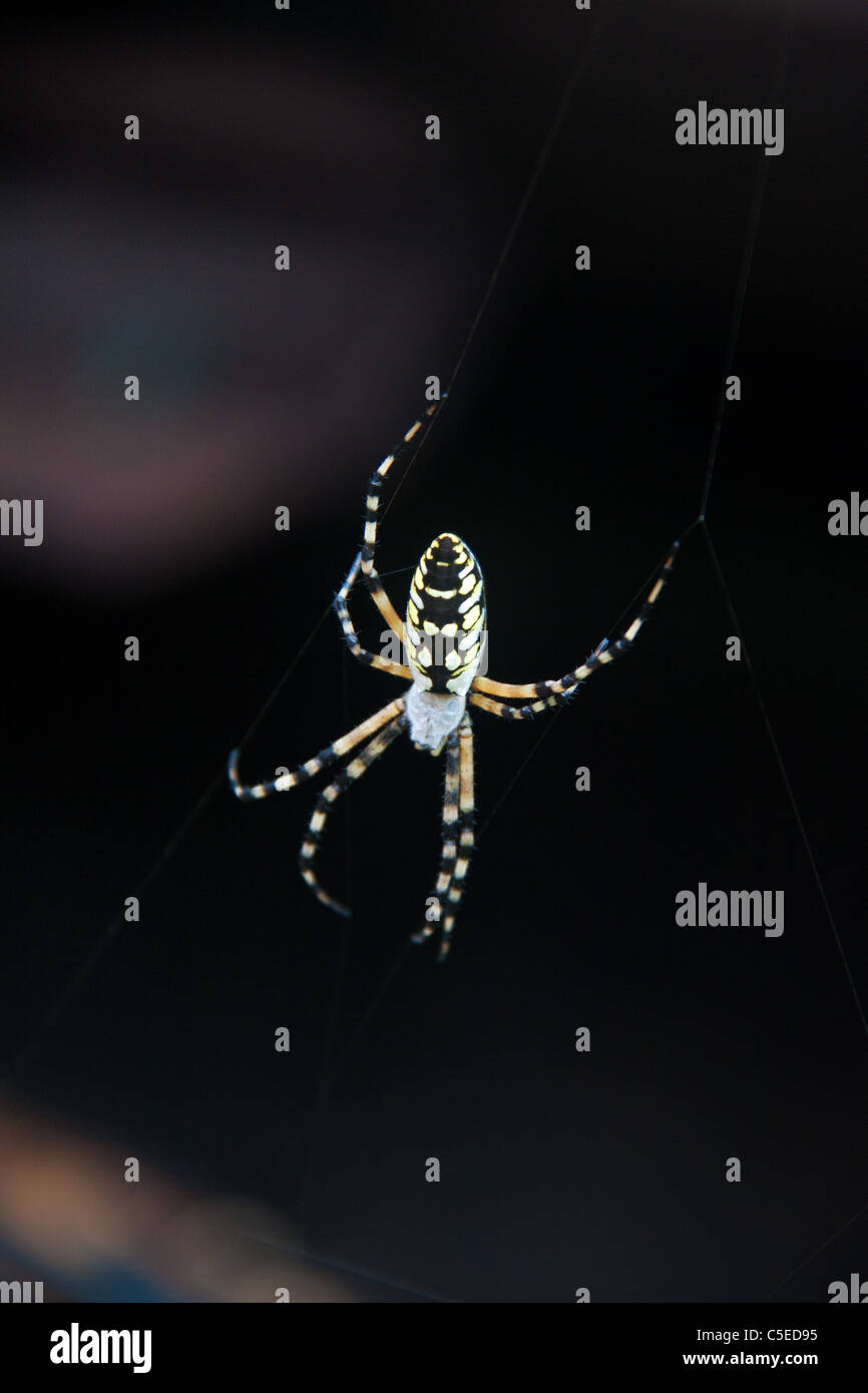 black and yellow spider stockfotos black and yellow spider bilder alamy. Black Bedroom Furniture Sets. Home Design Ideas