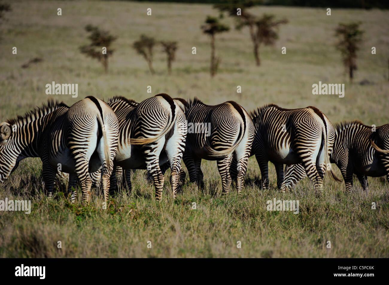 GREVY Zebra (Equus Grevyi). Kenia Stockbild