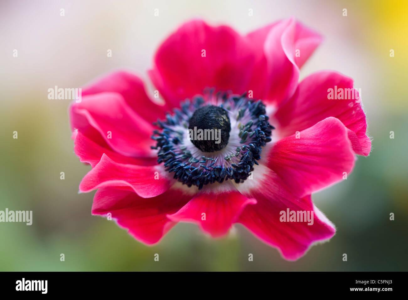 anemone de caen blume windflower stockfoto bild 37840267. Black Bedroom Furniture Sets. Home Design Ideas