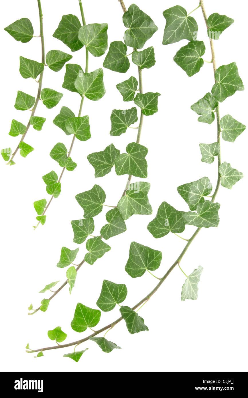 Ivy Stockfoto
