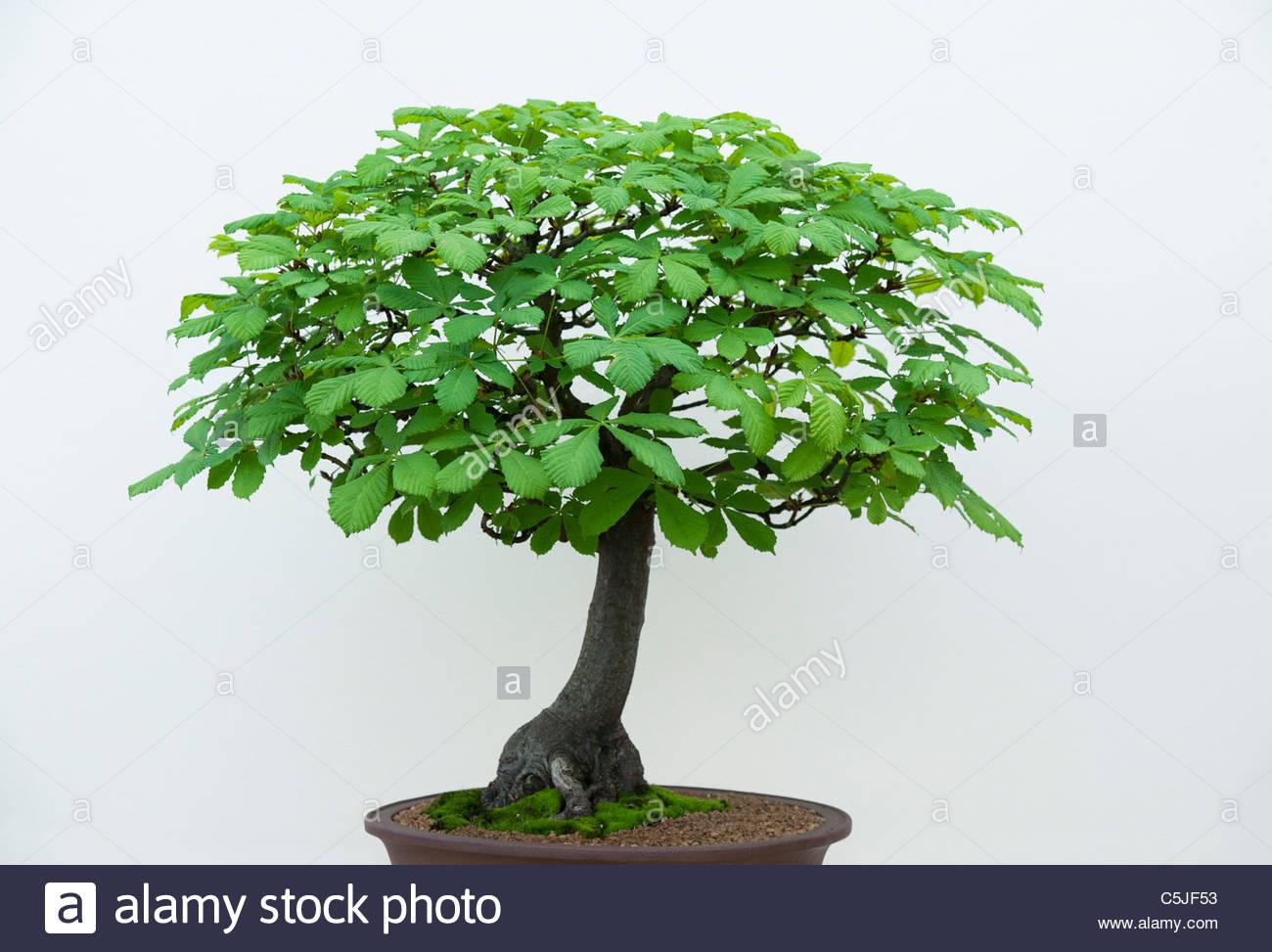aesculus hippocastanum bonsai rosskastanie baum vor wei em hintergrund stockfoto bild. Black Bedroom Furniture Sets. Home Design Ideas