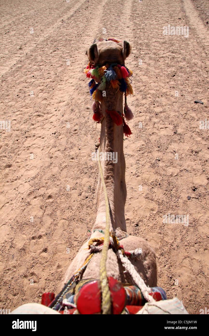 Kamel auf Schienen Stockfoto