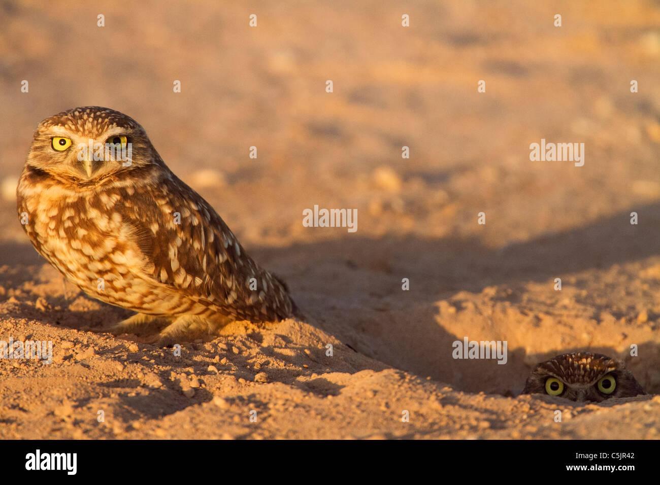 Northern (oder Western) Kanincheneule, in der Nähe von the Salton Sea, Imperial Valley, Kalifornien. Stockbild