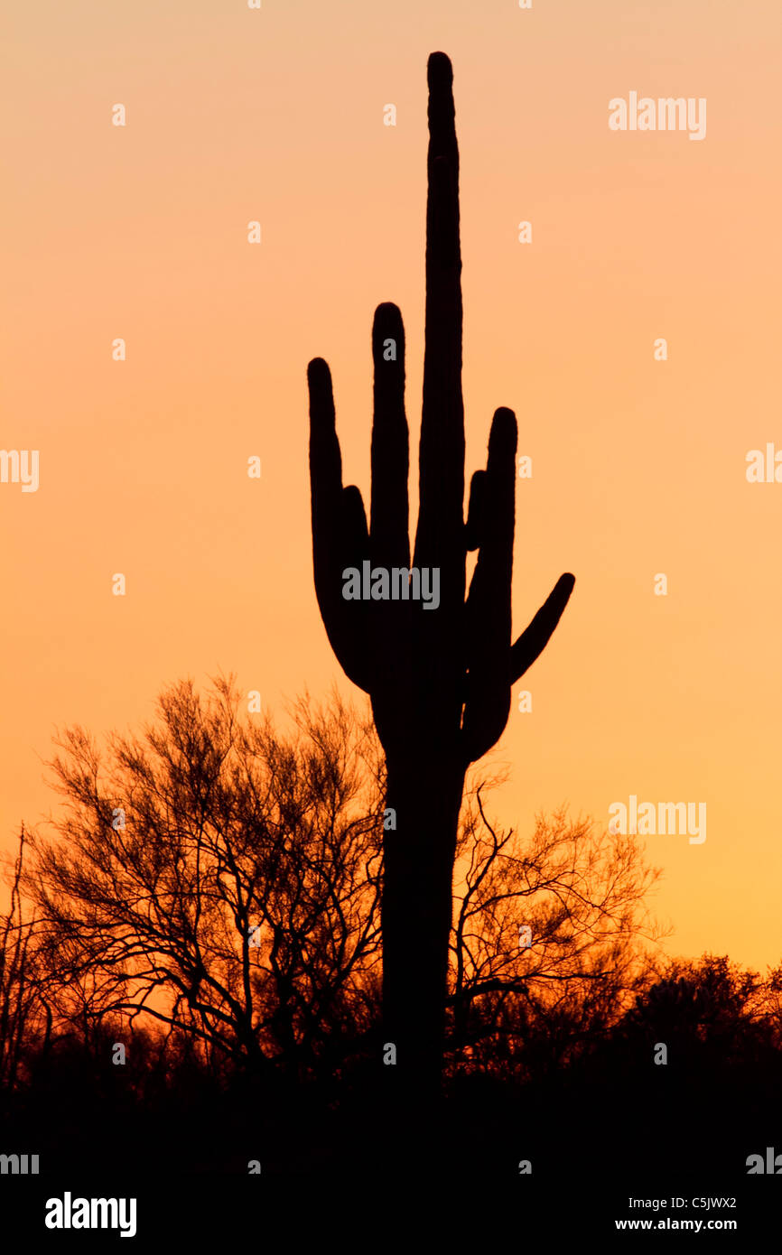 Sagaura Kaktus, Tonto National Forest östlich von Phoenix, Arizona. Stockfoto