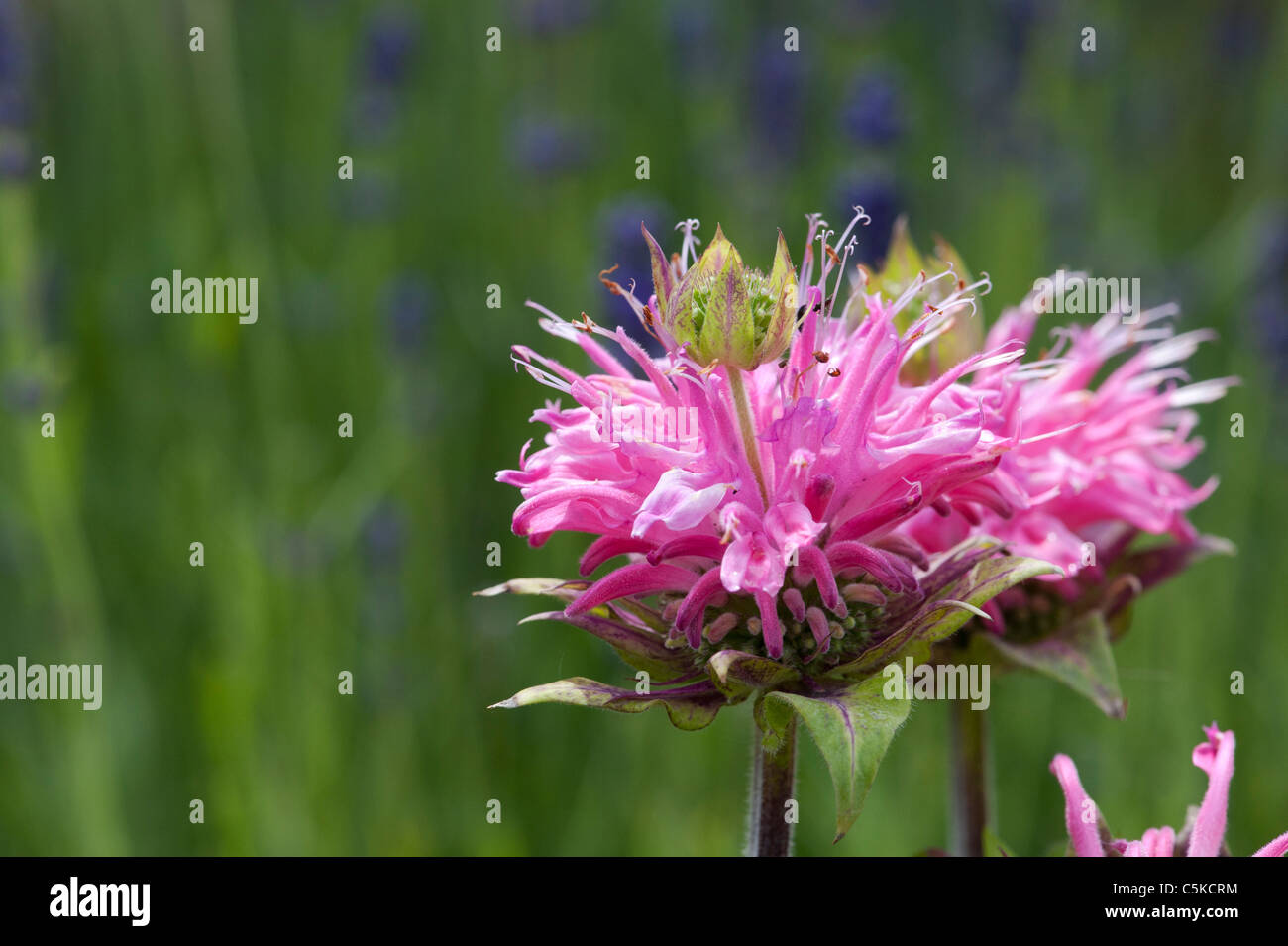 Bergamotte Monarda 'Petite Delight' Blume. Beebalm 'Petite Delight' im Englischen Garten. Großbritannien Stockbild