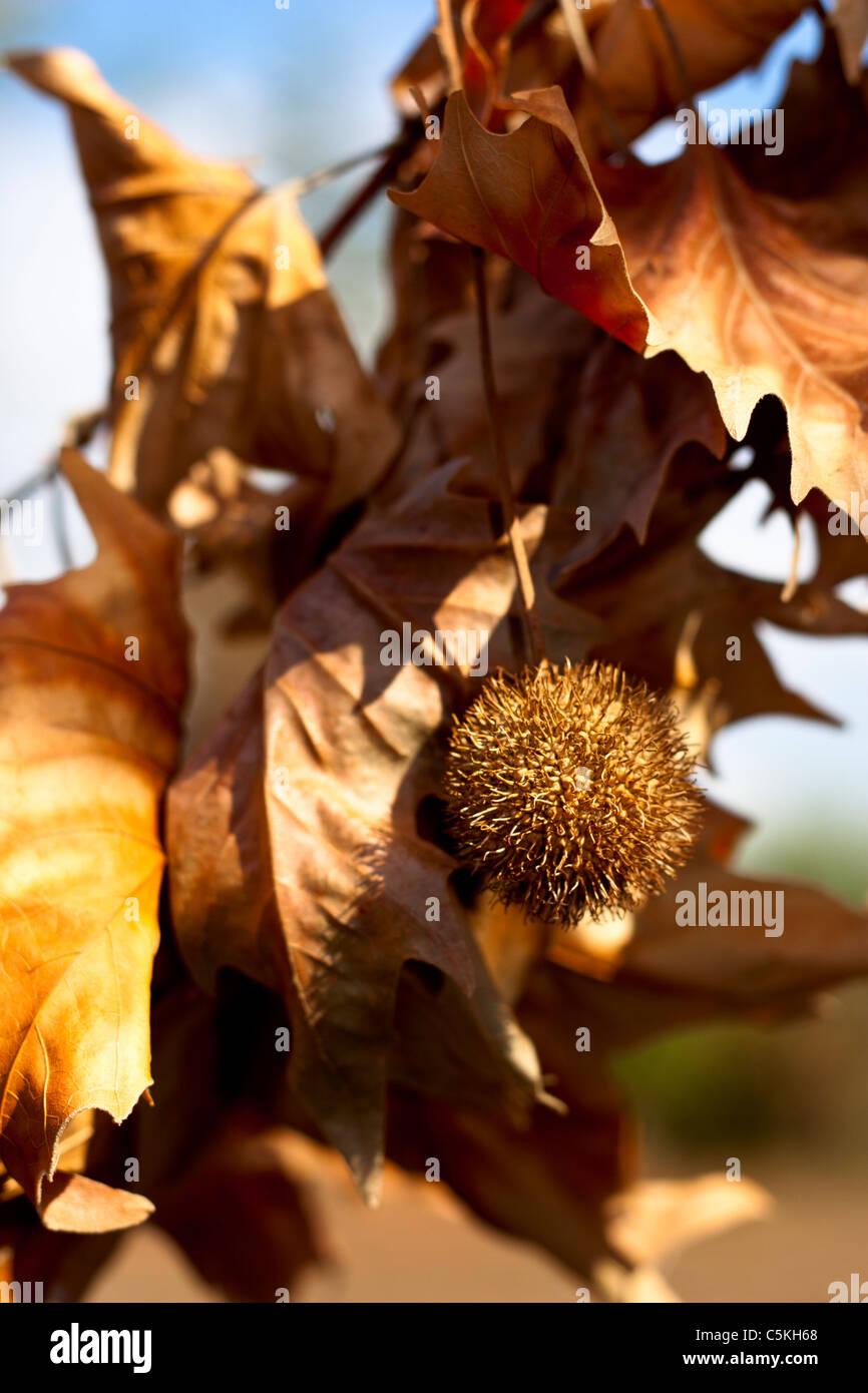 Unreife Kastanien Bur mit gelben Blättern an einem Ast hängen Stockbild