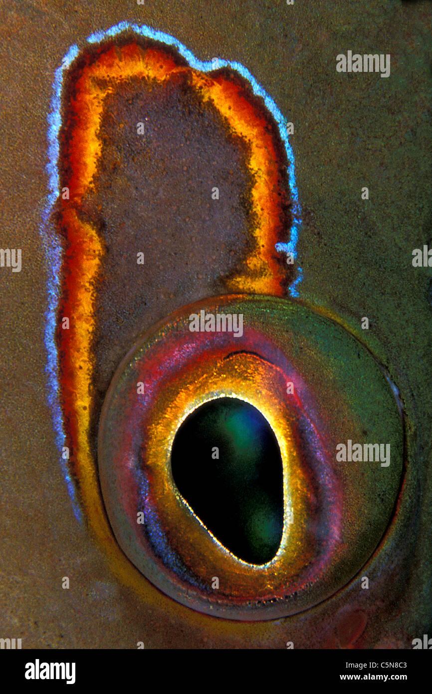 Auge des Arc-Auge Hawkfish Paracirrhites Arcatus, Vitu-Inseln, Bismarck-Archipel, Papua Neu Guinea Stockbild
