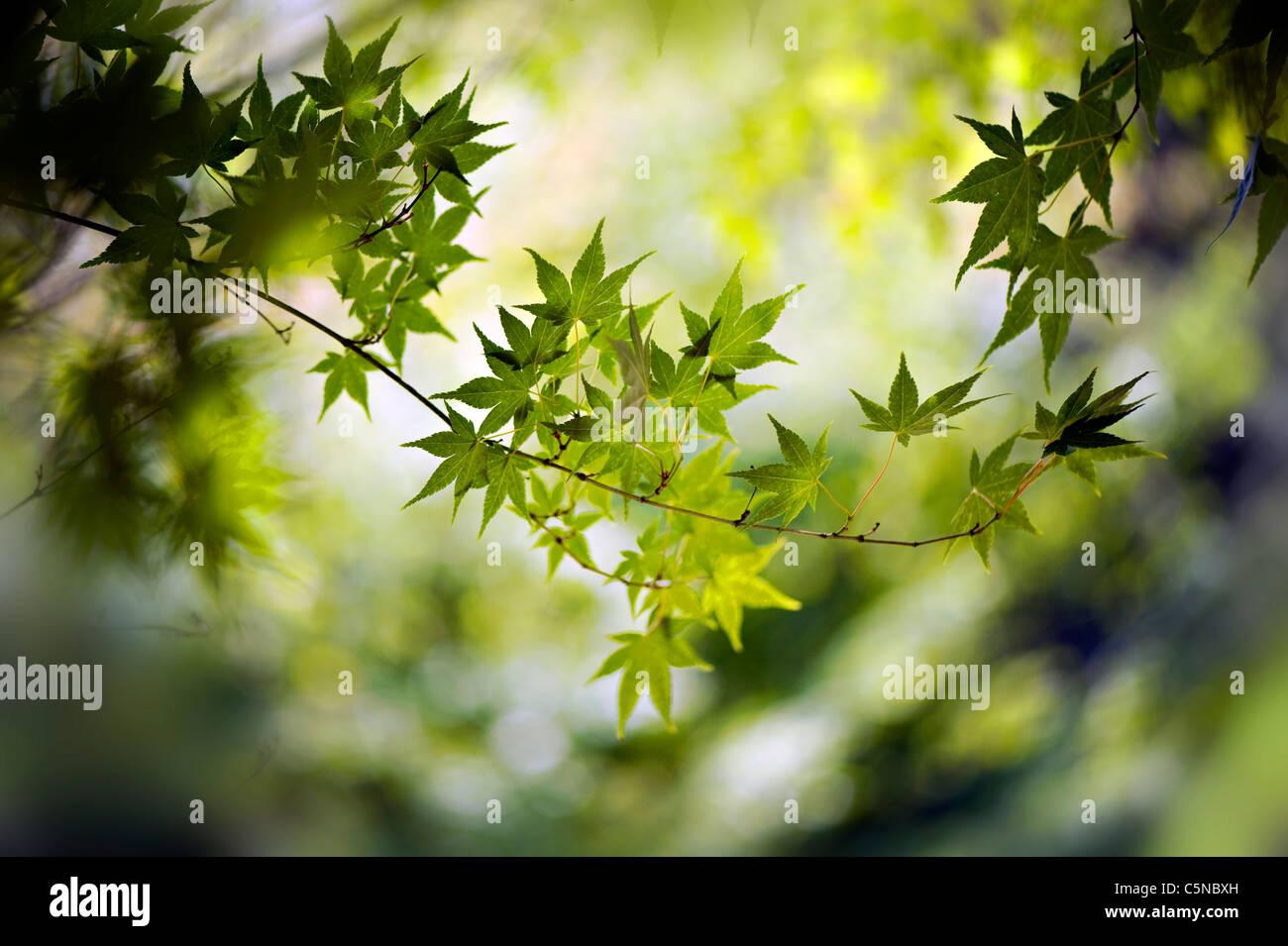 palmate leaf stockfotos palmate leaf bilder alamy. Black Bedroom Furniture Sets. Home Design Ideas