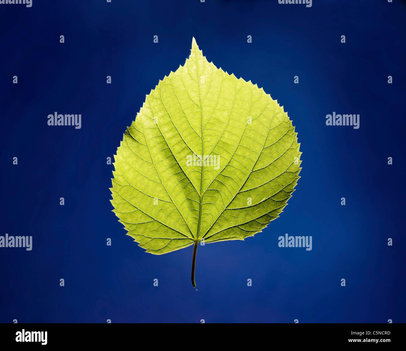 Ein grünes Blatt auf eine blaue Fläche Stockbild