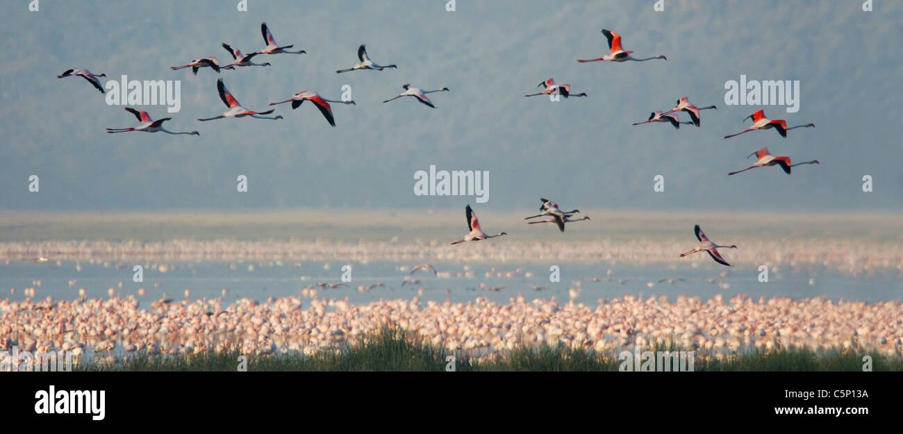 Kleinere und größere Flamingos fliegen über Lake-Nakuru-Nationalpark, Kenia Stockbild