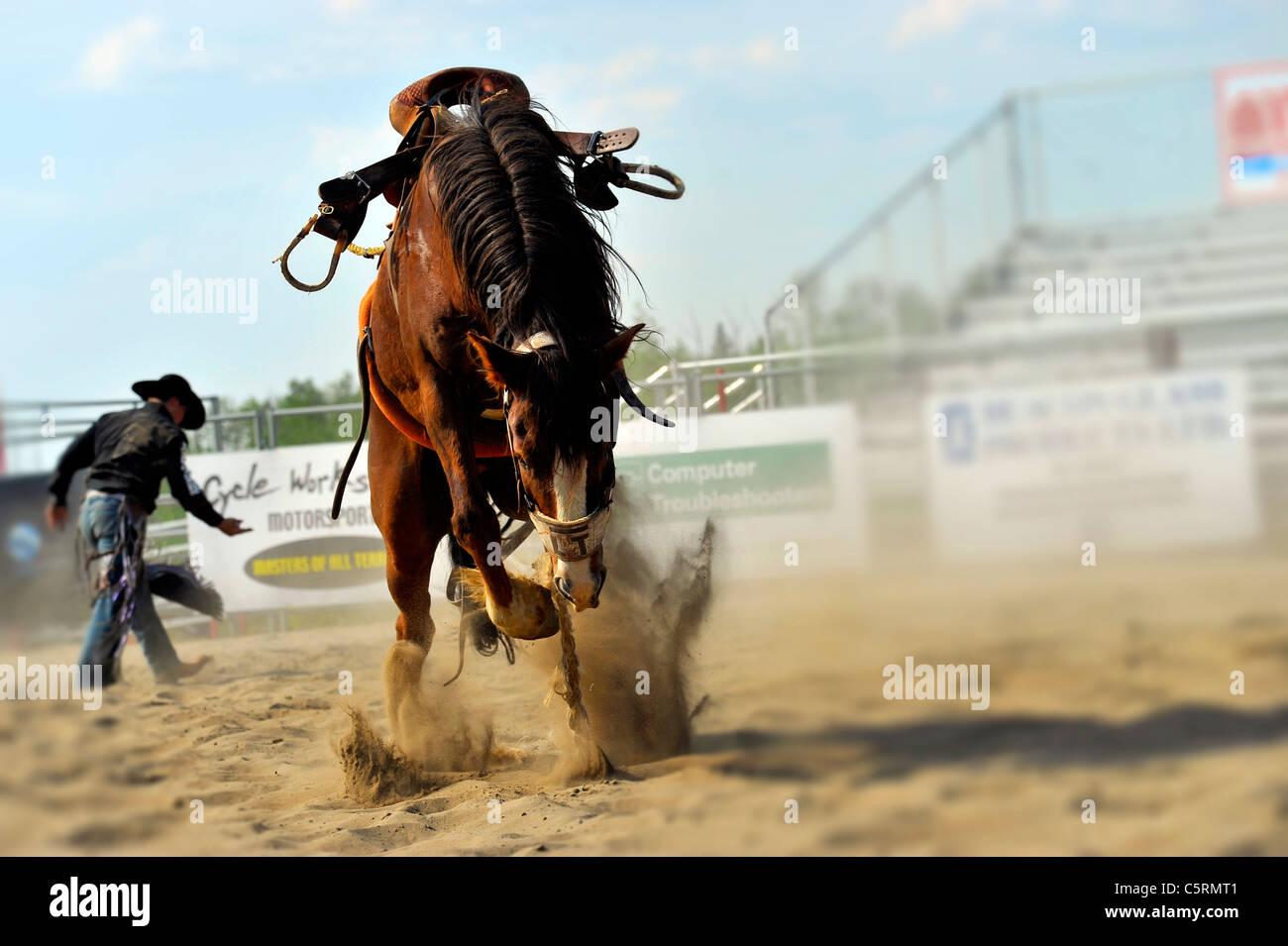 Ein Pferd immer noch Ruckeln nach Ruckeln aus seinem Reiter bei einer Rodeo-Veranstaltung in central Alberta Kanada Stockbild