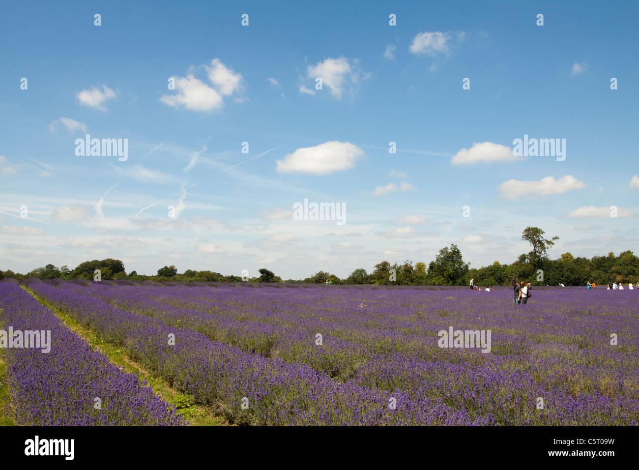 Mayfield Lavender Farm, Banstead, Surrey, England, UK Stockbild