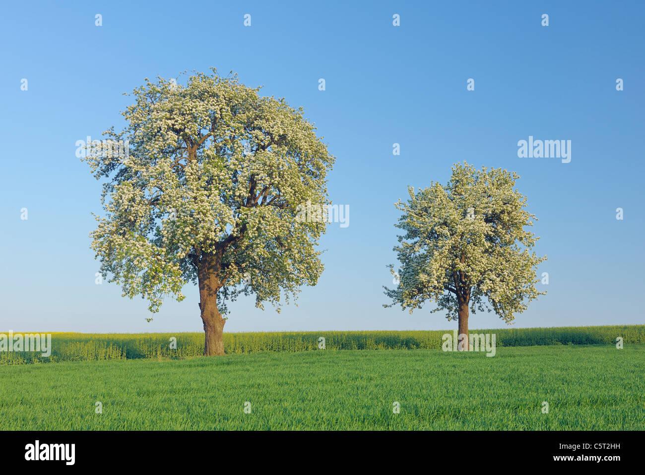 deutschland saarland mettlach merzig wadern blick auf bl hende birnbaum auf wiese stockfoto. Black Bedroom Furniture Sets. Home Design Ideas