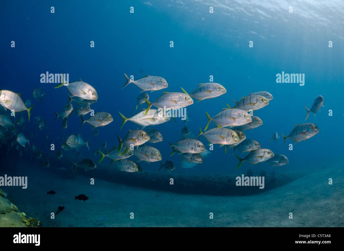 Schule von Jack Fisch oder Makrelen, Nuweiba, Rotes Meer, Sinai, Ägypten Stockfoto