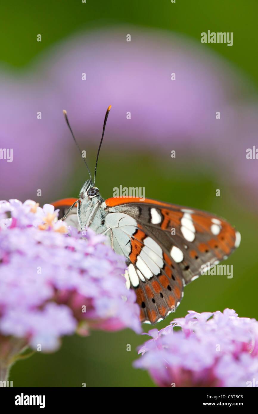 Südlichen weißer Admiral Schmetterling; Limenitis Reducta; gefangen auf Eisenkraut Stockbild
