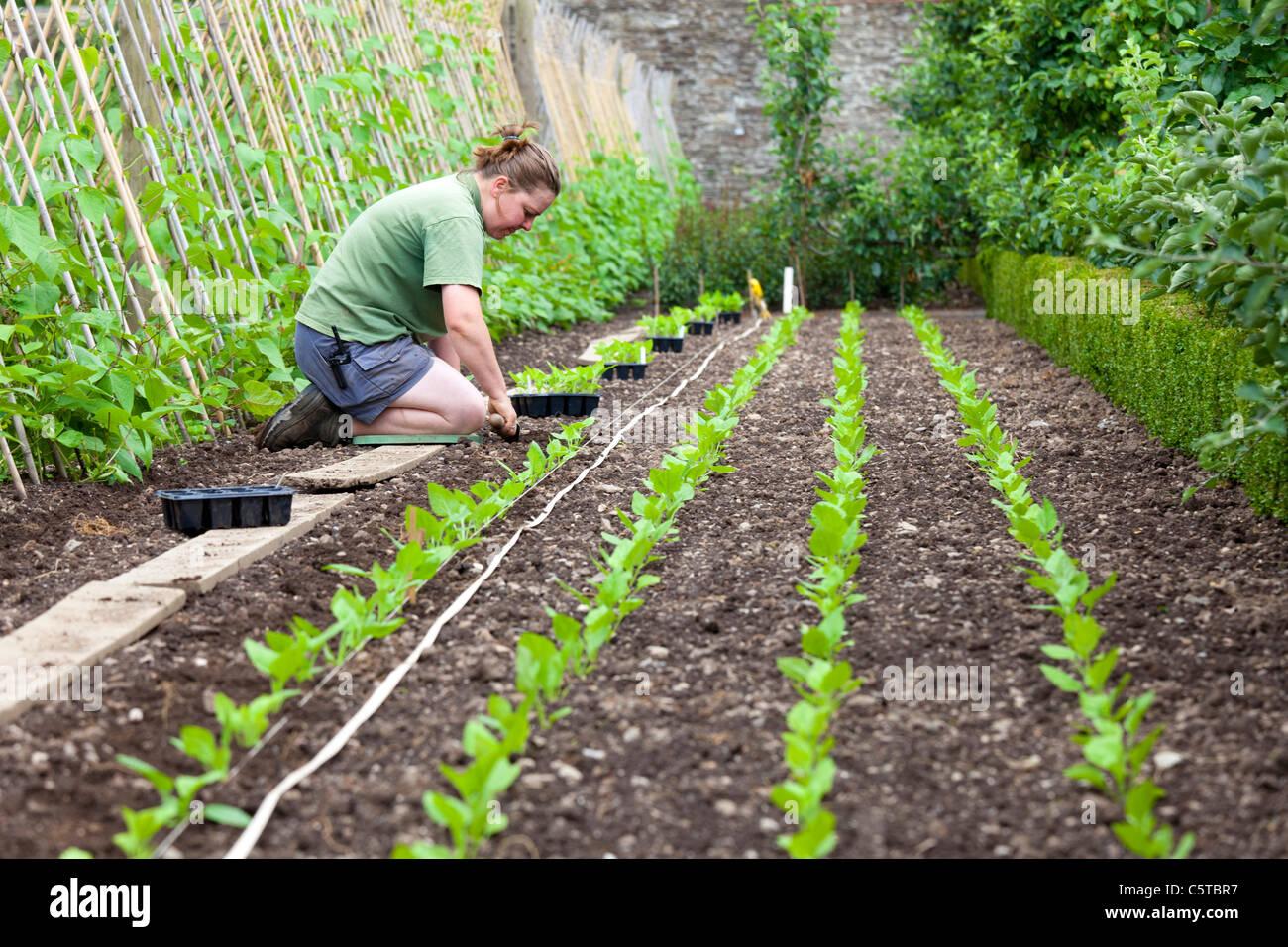 Frau arbeitet im Gemüsegarten auf die Lost Gardens of Heligan Cornwall UK Stockbild