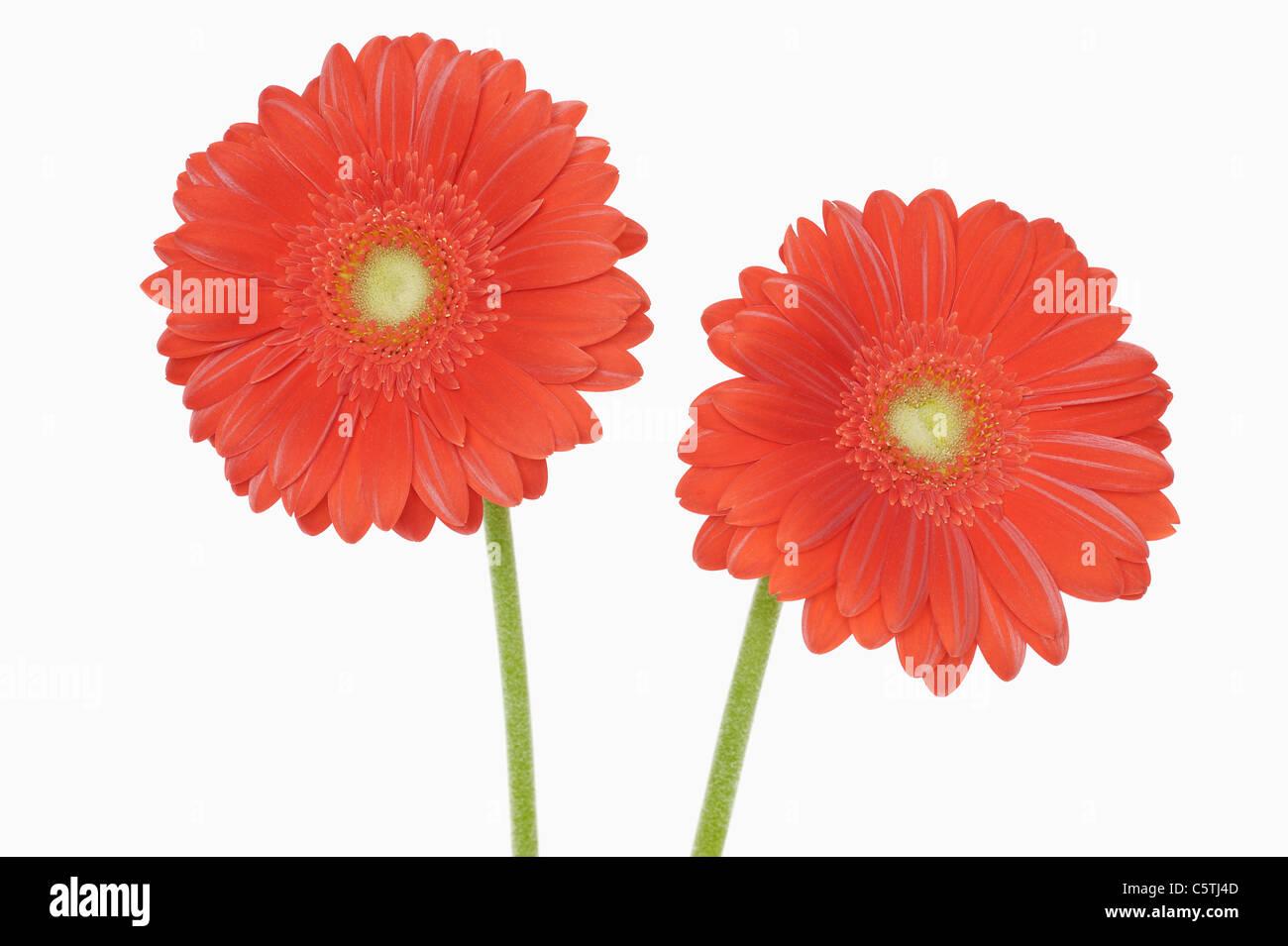 Gerbera Blüten, Nahaufnahme Stockbild